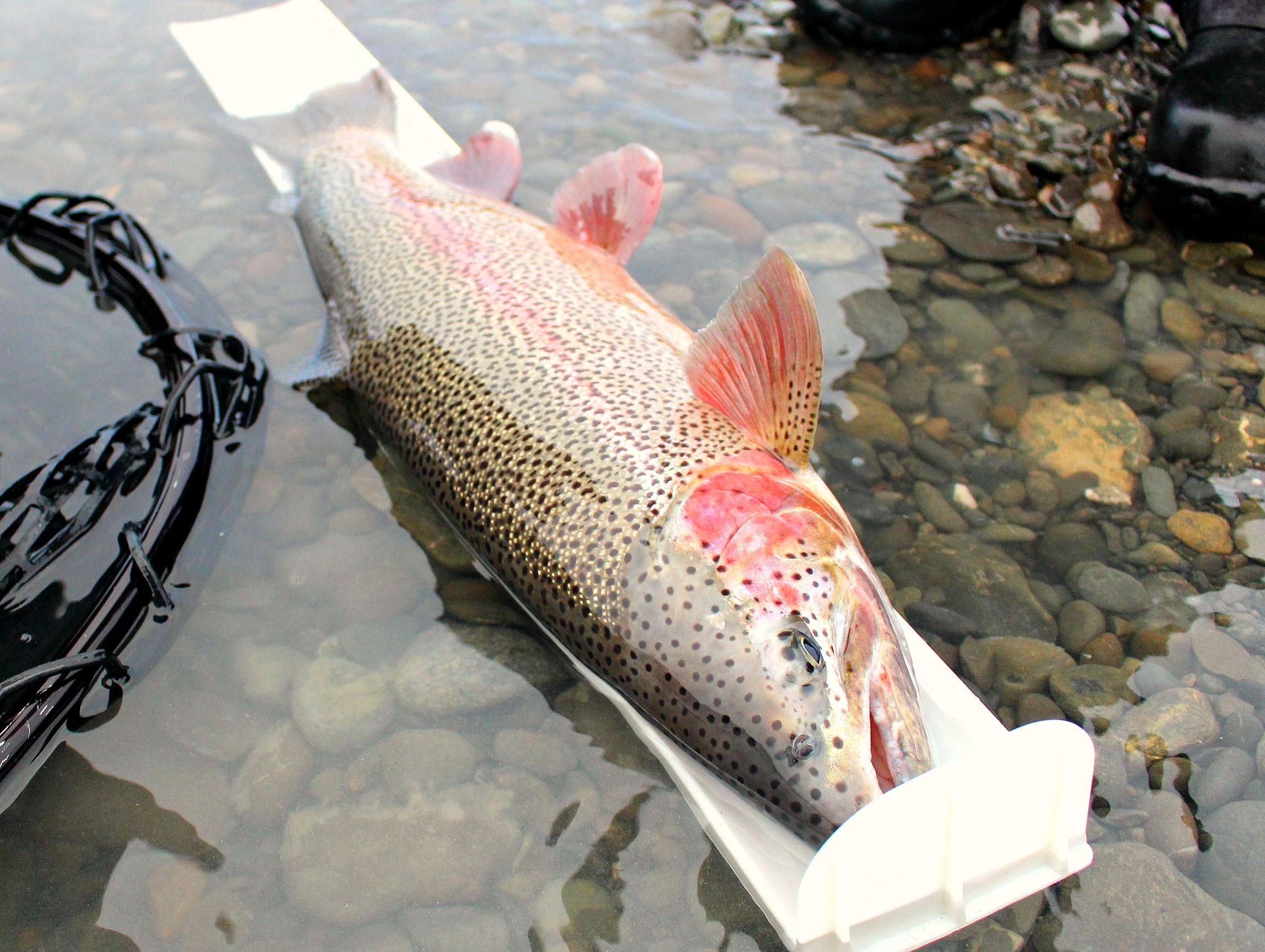 Measuring BIG Kenai River Trout
