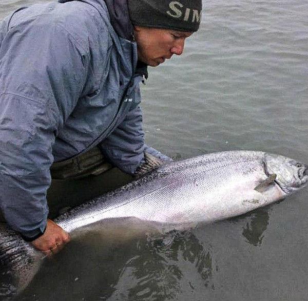 King Salmon - Alaska Fishology - Kenai River Salmon Fishing